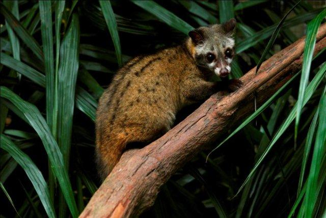 palm civet toddy cats