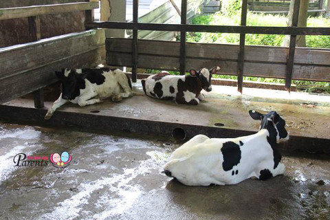 cows lying around in their pen kranji farms singapore