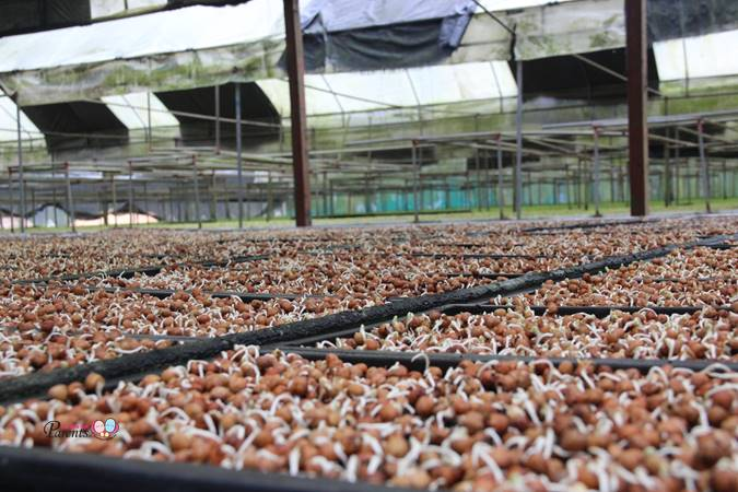 mushroom kin yan agrotech farm singapore