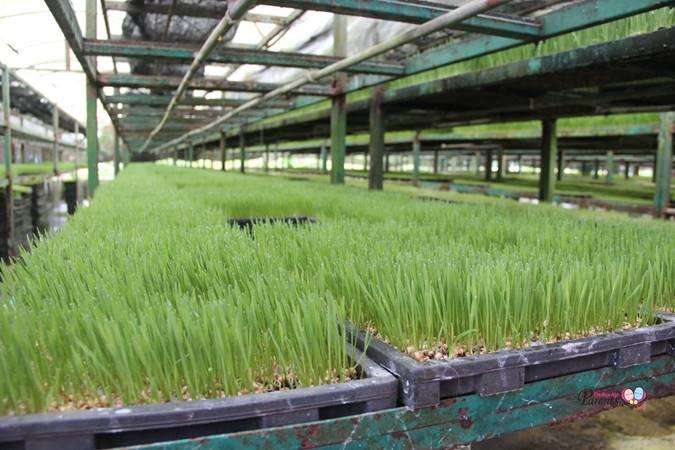 organic wheatgrass farm at kin yan agrotech
