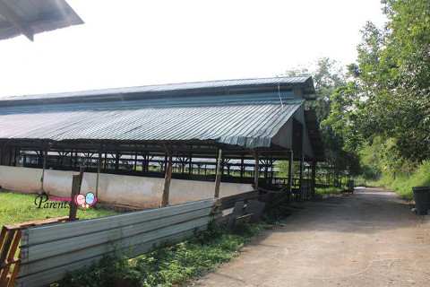 sheltered pens in cow farm in Kranji