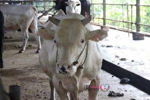 Viknesh Dairy Farm Lim Chu Kang Singapore