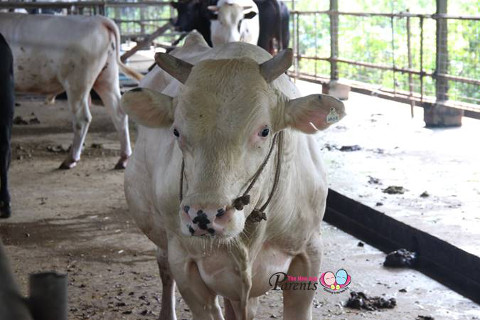 white cow in viknesh dairy farm