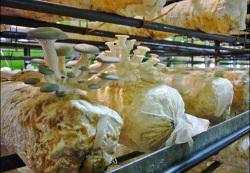 Singapore Mushroom Farm