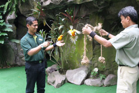 Rashid encouraging 2 sun conures Photo by Wildlife Reserves Singapore