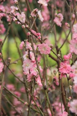 Sentosa Flowers - Spring blossoms