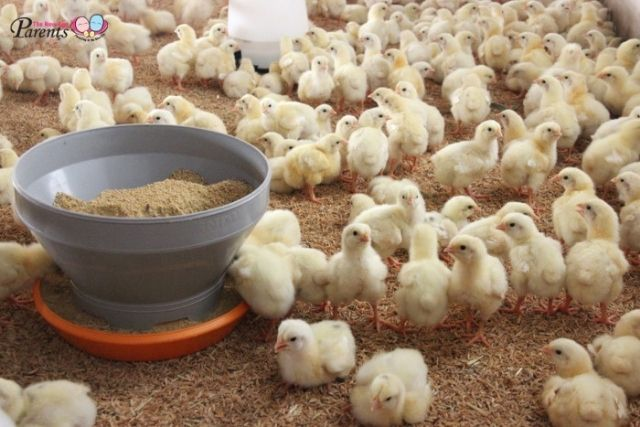 Kee Song Farm little chicks