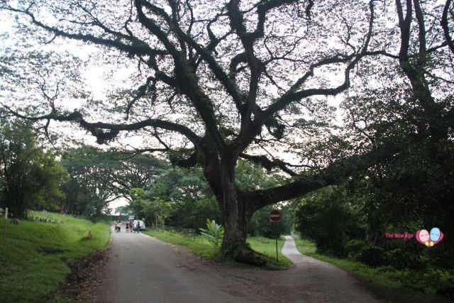 Bukit Brown Cemetery Raintrees