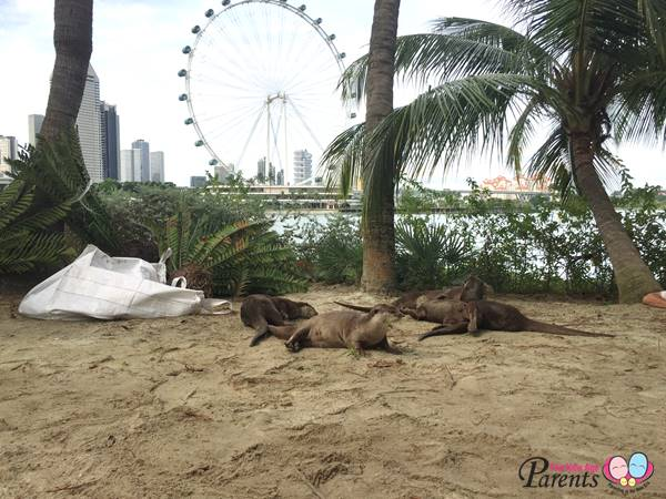 family of otters at marina reservoir