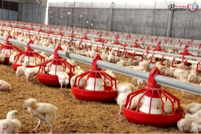 Chickens in Kee Song Farm are fed with Lactobacillus