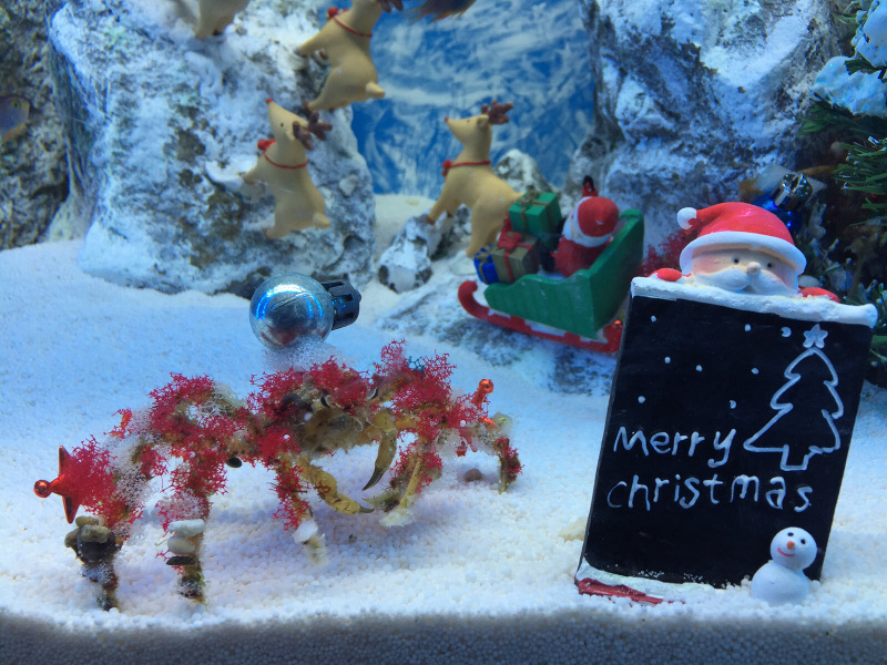 Decorator Crab Dressed for Xmas at Underwater World