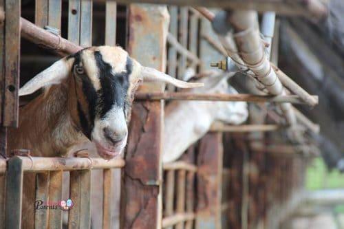 hay dairies goat farm in singapore
