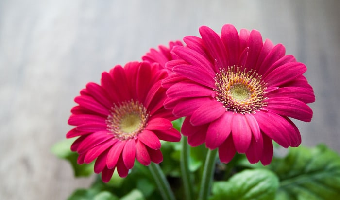10 Kinds Of Flowers You Can Give Your Wife On Her Birthday - Gerberas