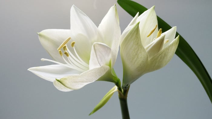 10 Kinds Of Flowers You Can Give Your Wife On Her Birthday- Lilies