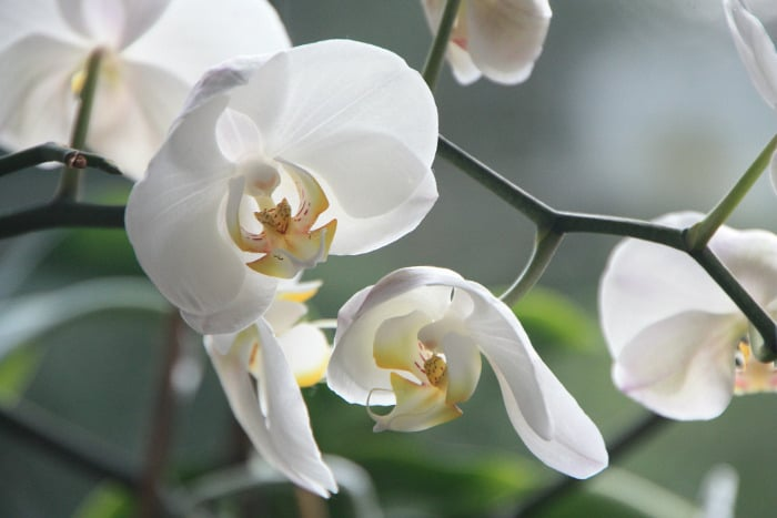 10 Kinds Of Flowers You Can Give Your Wife On Her Birthday - Orchids