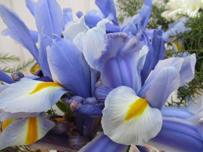 Flowers You Can Give Your Wife On Her Birthday - Irises