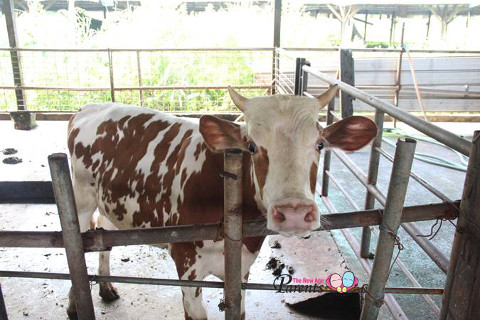 curious cow in cattle farm singapore