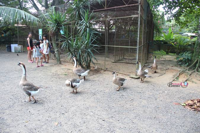 family of goose at seletar animal resort