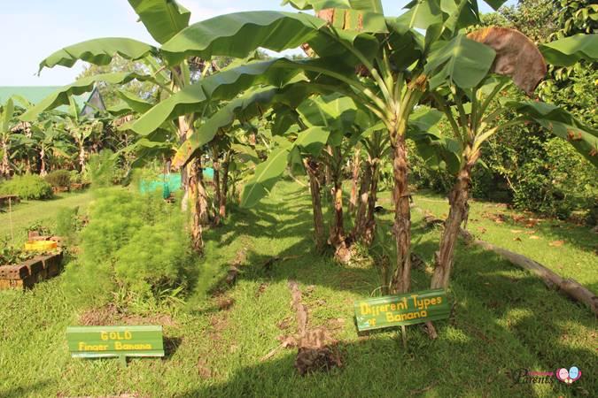 largest banana plantation in singapore bollywood veggies farm