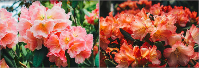 Rhododendron Radiance floral display GBTB