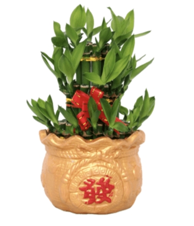 CNY Gifts Singapore Bamboo Plant